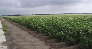 Patatas Flor Surcos