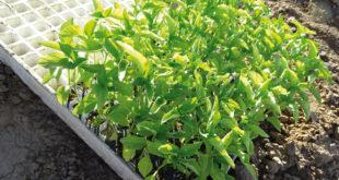 Bioestimulantes Algaenergy en el pimiento