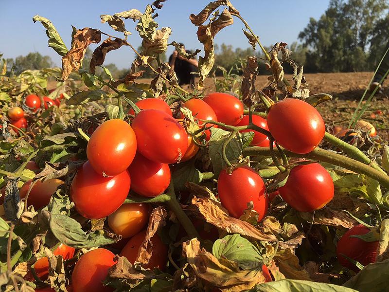 FGN tomates