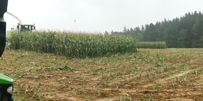 Jabalis en el maiz