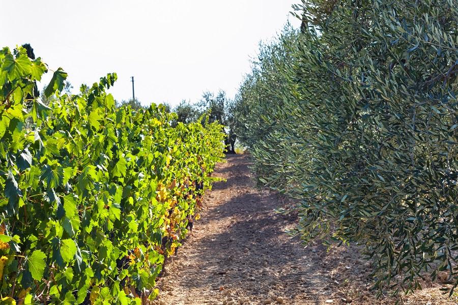 Viñedo cerca de olivos